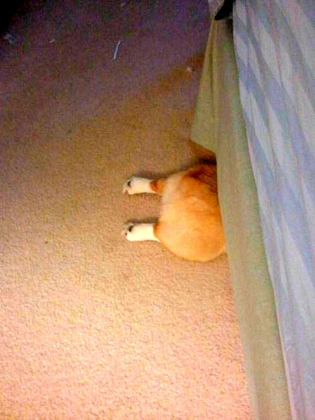 5.21.14-Dogs-Who-Are-Terrible-at-Hide-and-Seek8-442x590